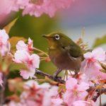 桜と目白の画像